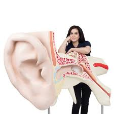 World's Largest Ear Model, 15 times Full-Size, 3 part